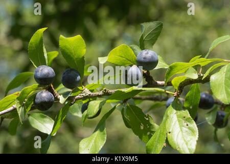 Nahaufnahme der Reife Schlehe (schlehe) Beeren im Spätsommer auf blackthorn Baum in Hampshire, Großbritannien - Stockfoto
