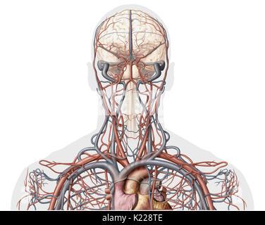 Dieses Bild zeigt eine anteriore Ansicht der Venen und der Arterien ...