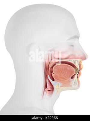 Dieses Bild zeigt die oberen Organe des Verdauungssystems Stockfoto ...