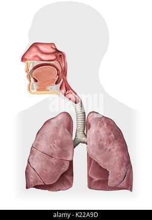 Dieses Bild zeigt die Nasenhöhle, die epiglottis, Mund, Rachen ...