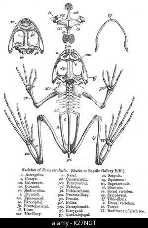 Becken- Skelett Stockfoto, Bild: 162705057 - Alamy