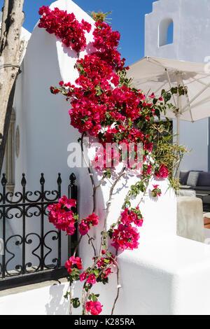 Bunte climing Strauch auf einem weiß getünchten Wand, Mykonos, Griechenland. - Stockfoto