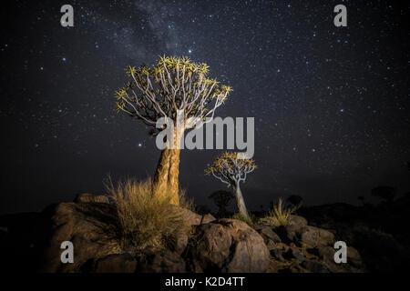 Köcherbäume (Aloe dichotoma) mit der Milchstraße nachts, Keetmanshoop, Namibia. Farben digital akzentuiert. - Stockfoto