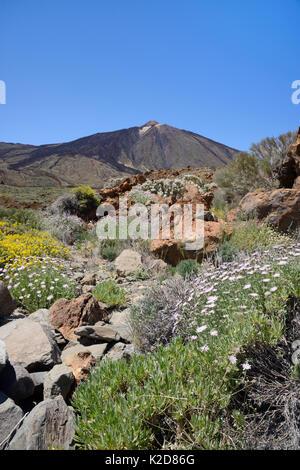 Fülle von endemischen Blumen einschließlich Strauchigen scabious (Pterocephalus lasiospermus), Teide Mauerblümchen - Stockfoto