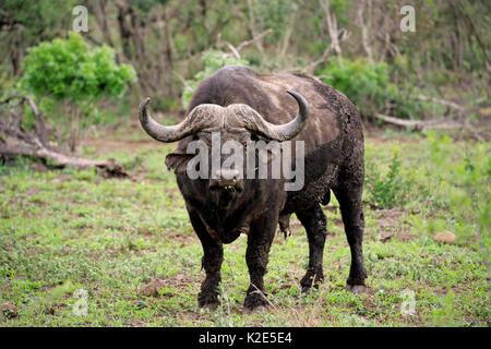 Kaffernbüffel (Syncerus Caffer), wachsam, Hluhluwe Umfolozi National Park, Hluhluwe iMfolozi Nationalpark, KwaZulu - Stockfoto