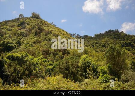 Montane Lorbeerwald Laurissilva/Überrest, Los Tilos de Moya, Doramas ländlichen Park, Gran Canaria UNESCO-Biosphärenreservat, - Stockfoto