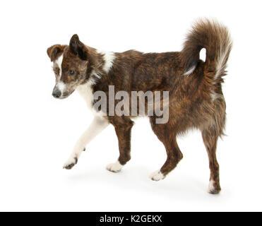 Mongrel Hund, Brec, selbstbewussten Haltung mit Streit ausgeloest. - Stockfoto