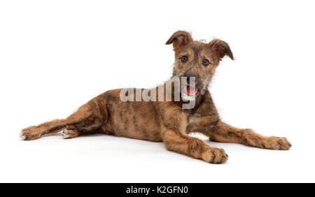 Brindle Lurcher hund welpe liegend. - Stockfoto