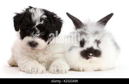 Schwarz-weiße Cavapoo Welpen und Hauskaninchen - Stockfoto