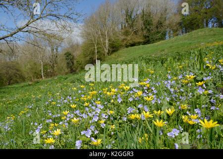 Teppich von germander Ehrenpreis (Veronica chamaedrys) und Weniger celandines (Ranunculus ficaria) Blühende auf - Stockfoto