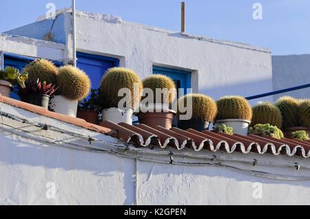 Goldenes Fass Kakteen (Mexiko) in einen Dachgarten,, Puerto de las Nieves, Gran Canaria, Spanien - Stockfoto