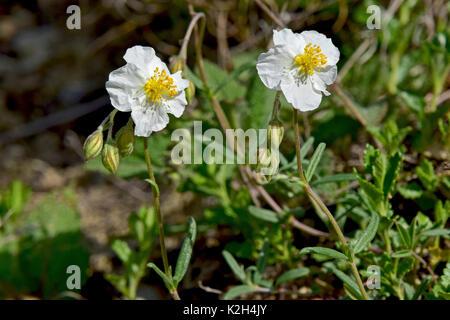 weißer Rock rose Blumen Stockfoto, Bild: 51849904 - Alamy