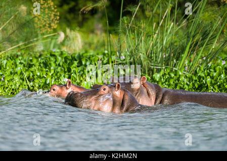 Flusspferd (Hippopotamus amphibius) teilweise in Wasser eingetaucht, Lake Naivasha, Kenia - Stockfoto