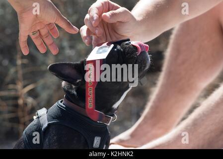 Ein Hund auf einem Paar Schutzbrille während eines partiellen Sonnenfinsternis Betrachtung Partei im Joshua Tree - Stockfoto