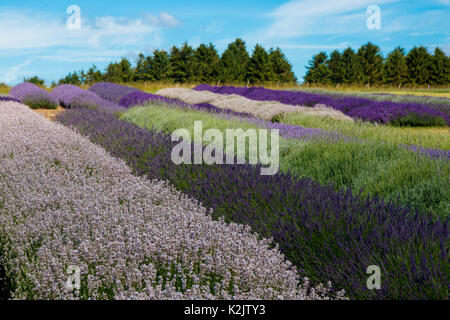 Die Lavender Farm im Sommer in snowshill, Vereinigtes Königreich. - Stockfoto