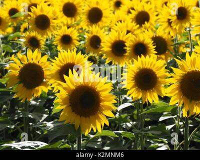 feld von sonnenblumen viele pflanzen gelb stockfoto bild 122706737 alamy. Black Bedroom Furniture Sets. Home Design Ideas