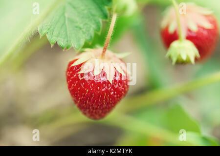 Schönen roten Erdbeeren wachsenden Bereich. Garten berry Makro anzeigen. geringe Tiefenschärfe, weiche selektiven - Stockfoto