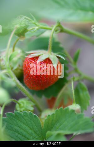 Rote Erdbeere im Garten reif. Garten berry Makro anzeigen. geringe Tiefenschärfe, weiche selektiven Fokus. Vertikale - Stockfoto