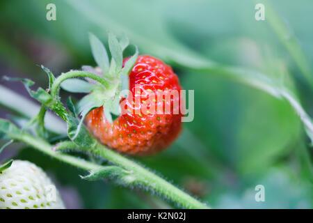 Bio Rote Erdbeere wachsendes Feld. schöner Garten berry Makro anzeigen. geringe Tiefenschärfe, weiche selektiven - Stockfoto