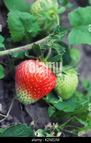 Wachsende Erdbeeren im Garten. Rohe rote Beere Makro anzeigen. geringe Tiefenschärfe, Soft Focus - Stockfoto