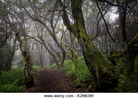 Bemoosten Bäume im Nebel Wald, Lorbeerwald, Raya la Llania, El Hierro, Kanarische Inseln, Spanien - Stockfoto