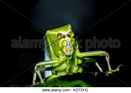 Grüne große Katydid Leaf Bug Grasshopper mystic - Stockfoto