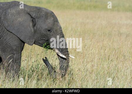 Seitenansicht eines einsamen Afrikanischer Elefant, Loxodonta africana, essen Gras, Masai Mara National Reserve, - Stockfoto