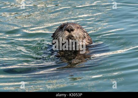 Eine nördliche Sea Otter in der Kamishak Bay an der Stadt von Homer Port & Hafen Marina in Homer, Alaska. - Stockfoto