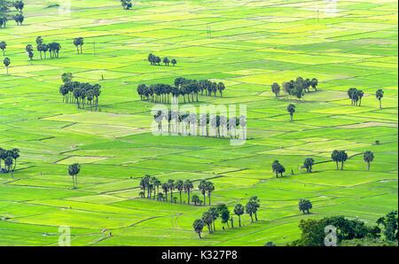 Zucker Palmen auf dem Reisfeld Blick von oben ist zu ernten. Die Landwirte haben zwei Pflanzen in der Landwirtschaft - Stockfoto