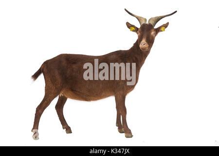 Französische Rasse, Ziege aus Frankreich: Rove Ziege, Profil, können ausgeschnitten werden. Rove Ziege mit Hörnern - Stockfoto