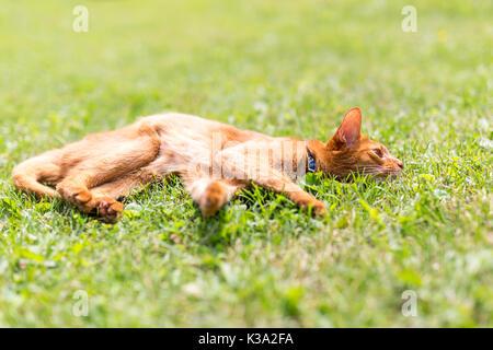 Ginger tabby Katze im Gras an einem warmen Sommerabend - Stockfoto