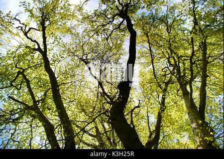 Kalk - Baum im Frühling, die Perspektive von unten - Stockfoto
