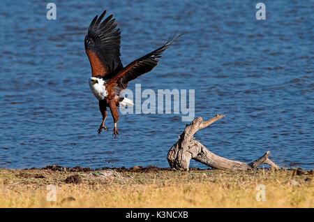 Amboseli Park, Kenia, Afrika Fish Eagle auf der Flucht vor dem Hintergrund der im Wasser eines kleinen Sees. - Stockfoto