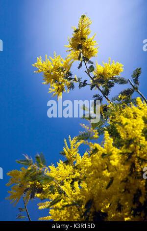 silber akazie acacia dealbata mimose fabaceae aus australien stockfoto bild 23497886 alamy. Black Bedroom Furniture Sets. Home Design Ideas