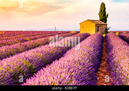 Provence, Plateau von Valensole, Frankreich, Europa. Einsame Bauernhaus und Zypressen Baum im Sonnenaufgang mit - Stockfoto