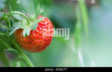 Close-up Bio Rote Erdbeere wachsendes Feld. schöner Garten berry Makro anzeigen. geringe Tiefenschärfe, weiche selektiven - Stockfoto