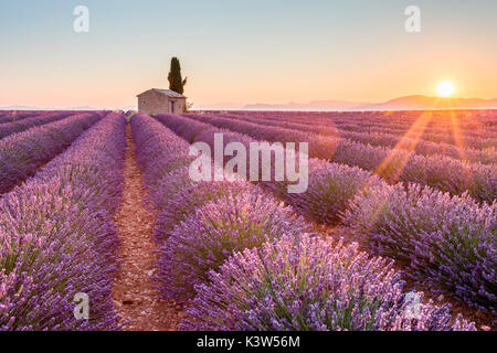 Das Plateau von Valensole, Provence, Frankreich. Sonnenaufgang in einem Lavendelfeld in der Blüte mit einsamen ländlichen - Stockfoto