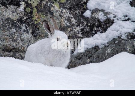 Nationalpark Stilfser Joch, Lombardei, Italien. Hase - Stockfoto
