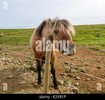 Islandpferd [Equus ferus caballus]. Island. - Stockfoto