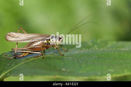 Ein roesel Bush - Kricket (Metrioptera roeselii) auf einem Blatt thront. - Stockfoto