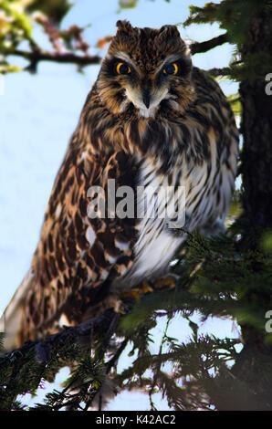 Short Eared owl, Asio flammeus, im Baum braches, Hokkaido, Japan, Captive, Alert, Augen und starrte - Stockfoto