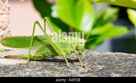 Weibliche Grüne Heuschrecke in der Sonne sitzen - Stockfoto