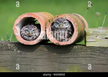 Ein paar kleine Eulen Athene noctua in Ton abflussrohre unter Bedingungen gesteuert - Stockfoto