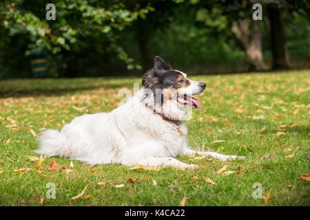 Border Collie Hund liegend auf Gras in einem Park - Stockfoto