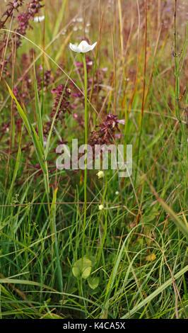 Ein Blick auf das Gras des Parnassus, parnassia palustris, mit basalen Blätter und Einsame weiße Blume auf southrepps - Stockfoto