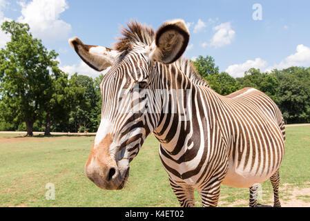 Zebra Nahaufnahme vom Auto im Nationalpark. - Stockfoto