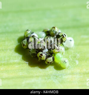 Wanzeneier, Wanze, Rhinocoris iracundus, - Stockfoto