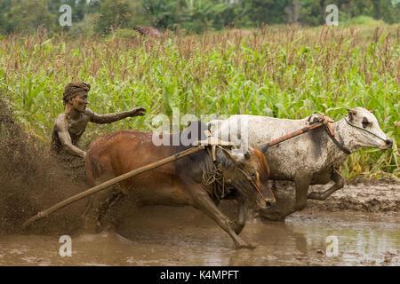 Aufwachraum Jawi (Kuh Racing) in West Sumarta, Indonesien. Jährliche traditionelle Zuschauersport von Jockeys 2 - Stockfoto