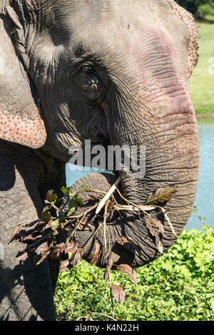 Indischer Elefant (Elephas maximus indicus) Ernährung auf Gras und Blätter, Kaziranga National Park, Assam, Indien, - Stockfoto
