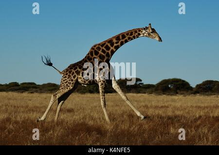 Laufende Giraffe - Stockfoto